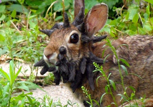 Frankenstein-تصویری از خرگوشی دارای تومور بنام فرانکشتاین-Unusual Minnesota rabbit video attracts attention
