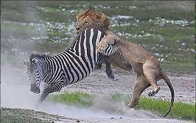 مستند-صحنه-های-حمله-حیوانات-وحشی-در-وقت-شکار