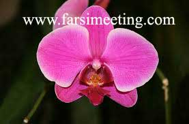 گل ارکیده -orchid flower-گل ارکیده صورتی-گل ارکیده بنفش-gol orkide-رنگ سال 93-رنگ سال 1393-color 2014-انتخاب رنگ سال 93-سرخابی درخشان-Radiant Orchid-نگ بنفش-رنگ سرخابی-رنگ گل ارکیده-Orchid flower-بنفش درخشان